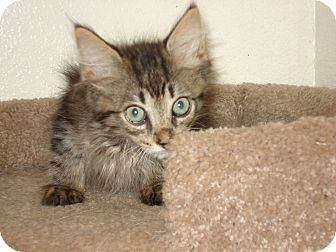 Domestic Longhair Kitten for adoption in Brownsville, Texas - Benji