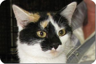 Calico Cat for adoption in Cardwell, Montana - Toes