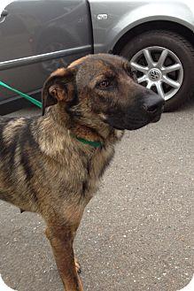 German Shepherd Dog Dog for adoption in Spring City, Pennsylvania - Echo