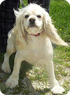Cocker Spaniel Dog for adoption in Menomonee Falls, Wisconsin - Sugar