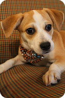 Beagle/Chihuahua Mix Puppy for adoption in Hagerstown, Maryland - Paris
