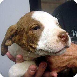American Staffordshire Terrier/Labrador Retriever Mix Puppy for adoption in Manassas, Virginia - Donner