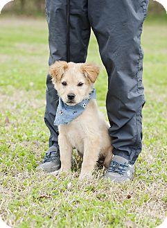 Border Collie/Golden Retriever Mix Puppy for adoption in Portsmouth, Rhode Island - Sokoto