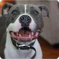 Adopt A Pet :: Cheeto - Raleigh, NC