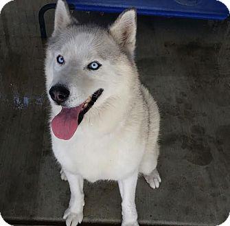 Siberian Husky Dog for adoption in Apple valley, California - Misha