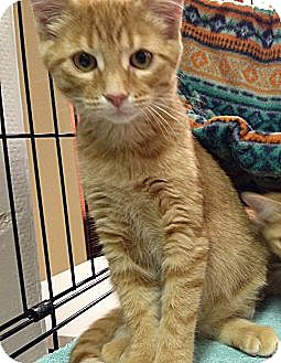 Domestic Shorthair Kitten for adoption in Clarksville, Tennessee - Brad