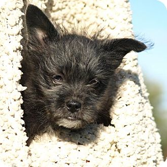 Brussels Griffon Mix Puppy for adoption in Columbia, Illinois - Pepper