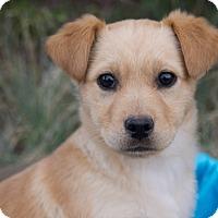 Adopt A Pet :: *Allie - PENDING - Westport, CT