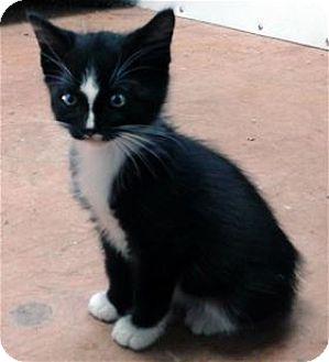 Domestic Shorthair Kitten for adoption in Rocklin, California - Chance