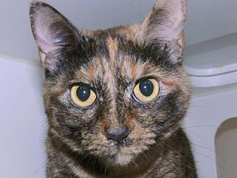 Domestic Shorthair Cat for adoption in New York, New York - Missy