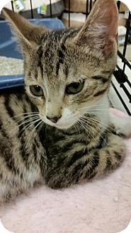 Domestic Shorthair Kitten for adoption in Williamston, North Carolina - Bosley