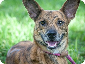 Australian Cattle Dog Mix Dog for adoption in Gainesville, Florida - Scar