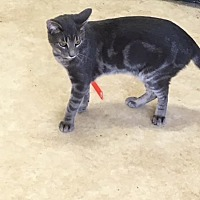 Domestic Shorthair Cat for adoption in Baton Rouge, Louisiana - Steve