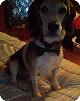 Beagle Mix Dog for adoption in Painesville, Ohio - Charlie