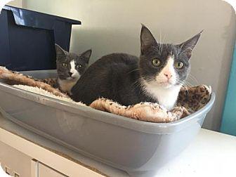 Domestic Shorthair Kitten for adoption in Hampton, Virginia - Reynard