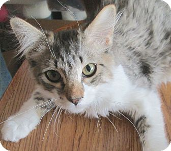 Domestic Longhair Kitten for adoption in Buhl, Idaho - Scruffie