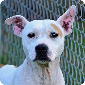 Pit Bull Terrier Mix Dog for adoption in Brooksville, Florida - 10309818 ELISE