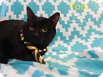 Domestic Shorthair Cat for adoption in Bucyrus, Ohio - Tom