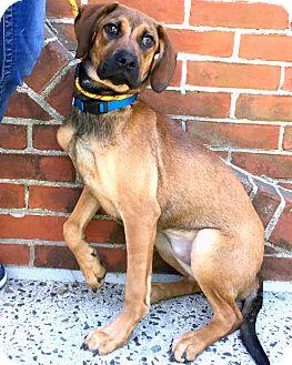 Hound (Unknown Type)/Shepherd (Unknown Type) Mix Puppy for adoption in Philadelphia, Pennsylvania - Sooni