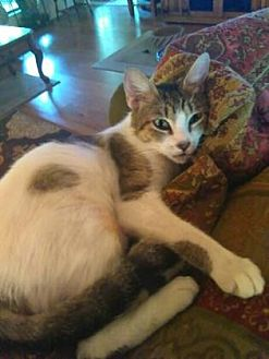 Domestic Shorthair/Domestic Shorthair Mix Cat for adoption in Bulverde, Texas - Stella 3
