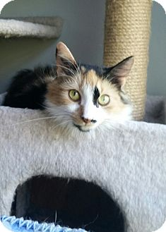 Calico Cat for adoption in Clayton, New Jersey - FALLON
