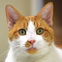 Domestic Shorthair Cat for adoption in Norwalk, Connecticut - Precious