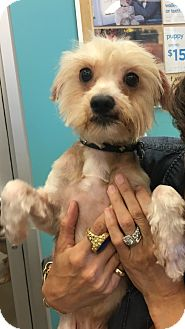 Silky Terrier Mix Dog for adoption in beverly hills, California - Kobe