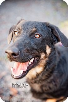 Shepherd (Unknown Type)/Curly-Coated Retriever Mix Dog for adoption in Santa Fe, Texas - Rex