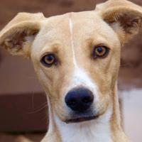 Adopt A Pet :: Izzy - Las Cruces, NM