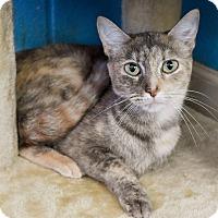 Adopt A Pet :: Drizzle - Nashville, TN
