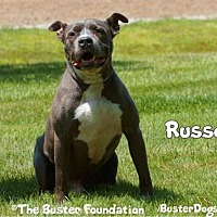 American Pit Bull Terrier/American Staffordshire Terrier Mix Dog for adoption in Belleville, Michigan - RUSSO