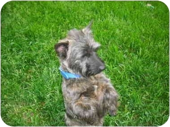 Cairn Terrier Dog for adoption in Ft. Collins, Colorado - Bess