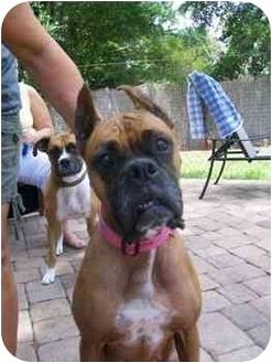 Boxer Mix Dog for adoption in Tallahassee, Florida - Jezebel