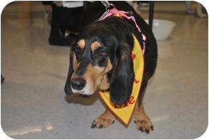 Black and Tan Coonhound/Basset Hound Mix Dog for adoption in Chesterfield, Virginia - Lilly