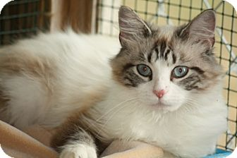 Siamese Cat for adoption in Dover, Ohio - Calypso