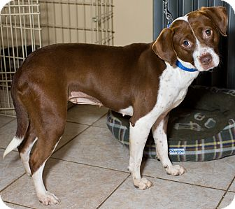 Pointer Mix Dog for adoption in Mt. Prospect, Illinois - Zoey