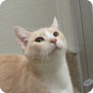 Domestic Shorthair Cat for adoption in Gilbert, Arizona - Summer