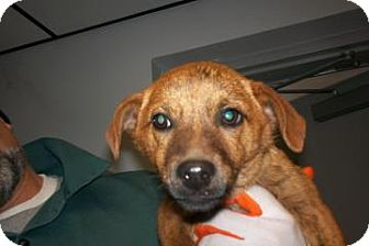 Dachshund/Shepherd (Unknown Type) Mix Dog for adoption in Lincolnton, North Carolina - Duck