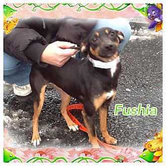 Miniature Pinscher Mix Dog for adoption in Greensboro, Maryland - Fuschia