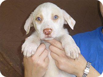 Australian Shepherd/Labrador Retriever Mix Puppy for adoption in Oviedo, Florida - Abe