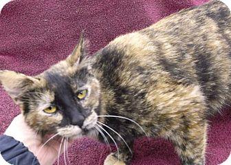 Domestic Shorthair Cat for adoption in Olive Branch, Mississippi - Dora