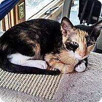 Calico Cat for adoption in Eldora, Iowa - Celeste