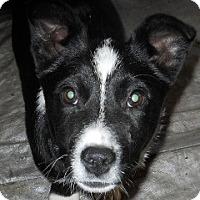 Adopt A Pet :: Kerry - dewey, AZ