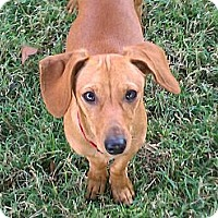 Adopt A Pet :: Franky - Nashville, TN