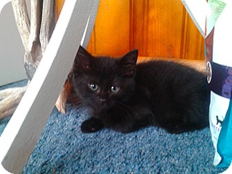 Domestic Mediumhair Kitten for adoption in Irwin, Pennsylvania - George