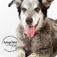 Adopt A Pet :: Teddy Bear - Denver, CO