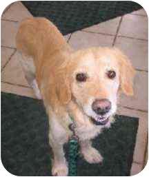 Golden Retriever Dog for adoption in Cleveland, Ohio - Simon
