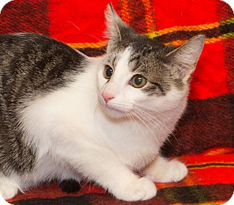 Domestic Shorthair Cat for adoption in Elmwood Park, New Jersey - Jackson