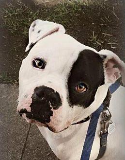 American Bulldog Mix Dog for adoption in San Ramon, California - Petey