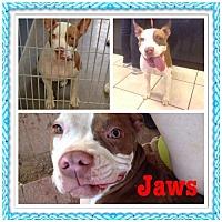 Adopt A Pet :: Jaws - Phoenix, AZ